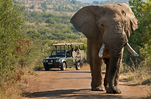 Game Drive wildlife sighting of Elephants at Bakubung Bush Lodge