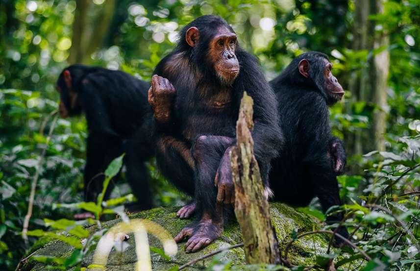 Chimpanzee Trekking, Tanzania