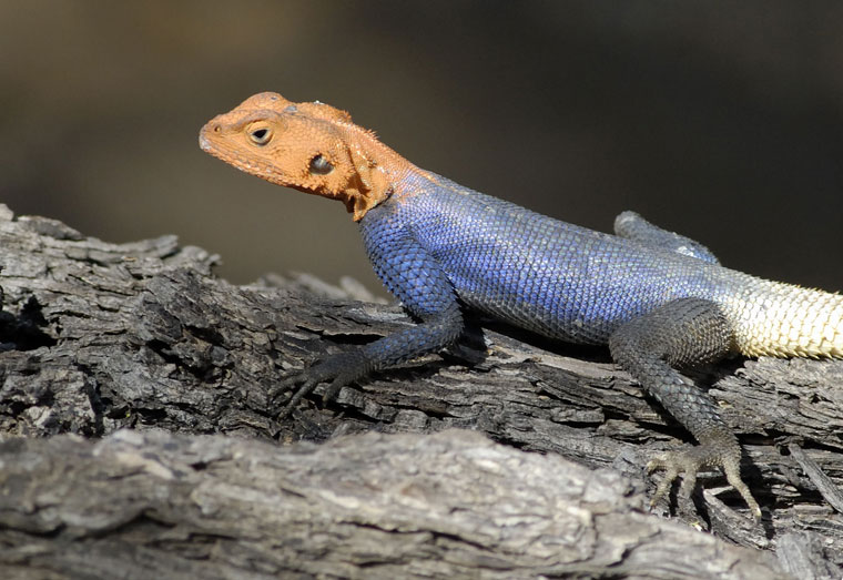 Lizards in Namibia